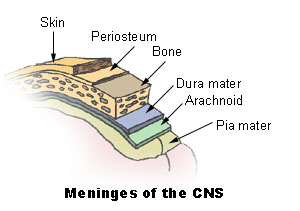 Meninges of the central nervous parts