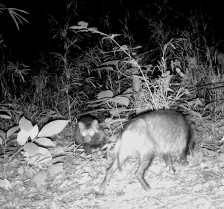 File:Infrared photograph of adult Nyctereutes procyonoides with pup - journal.pone.0051802.g002-left.png
