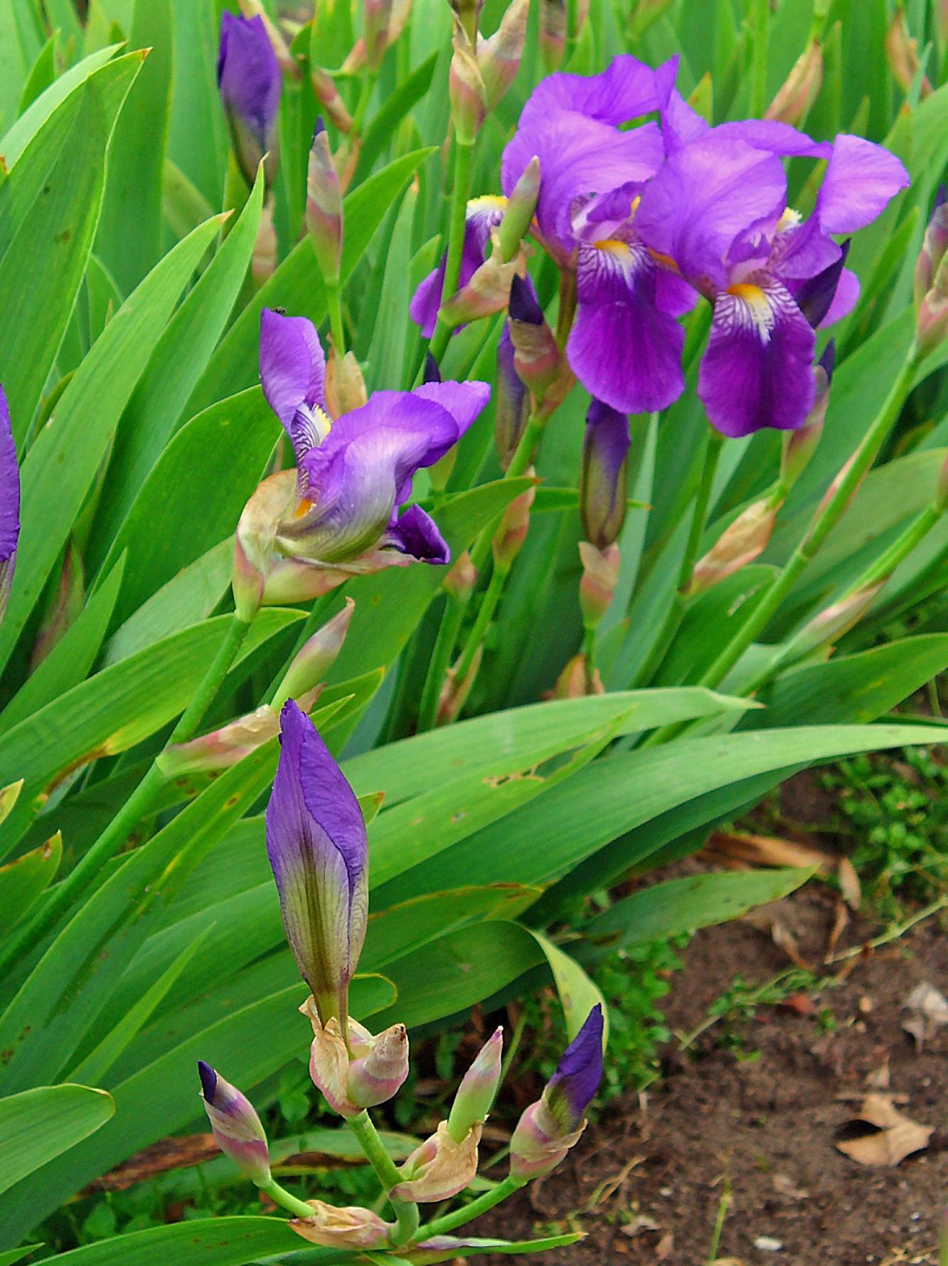 File iris germanica 0001 jpg - Iris germanica ...