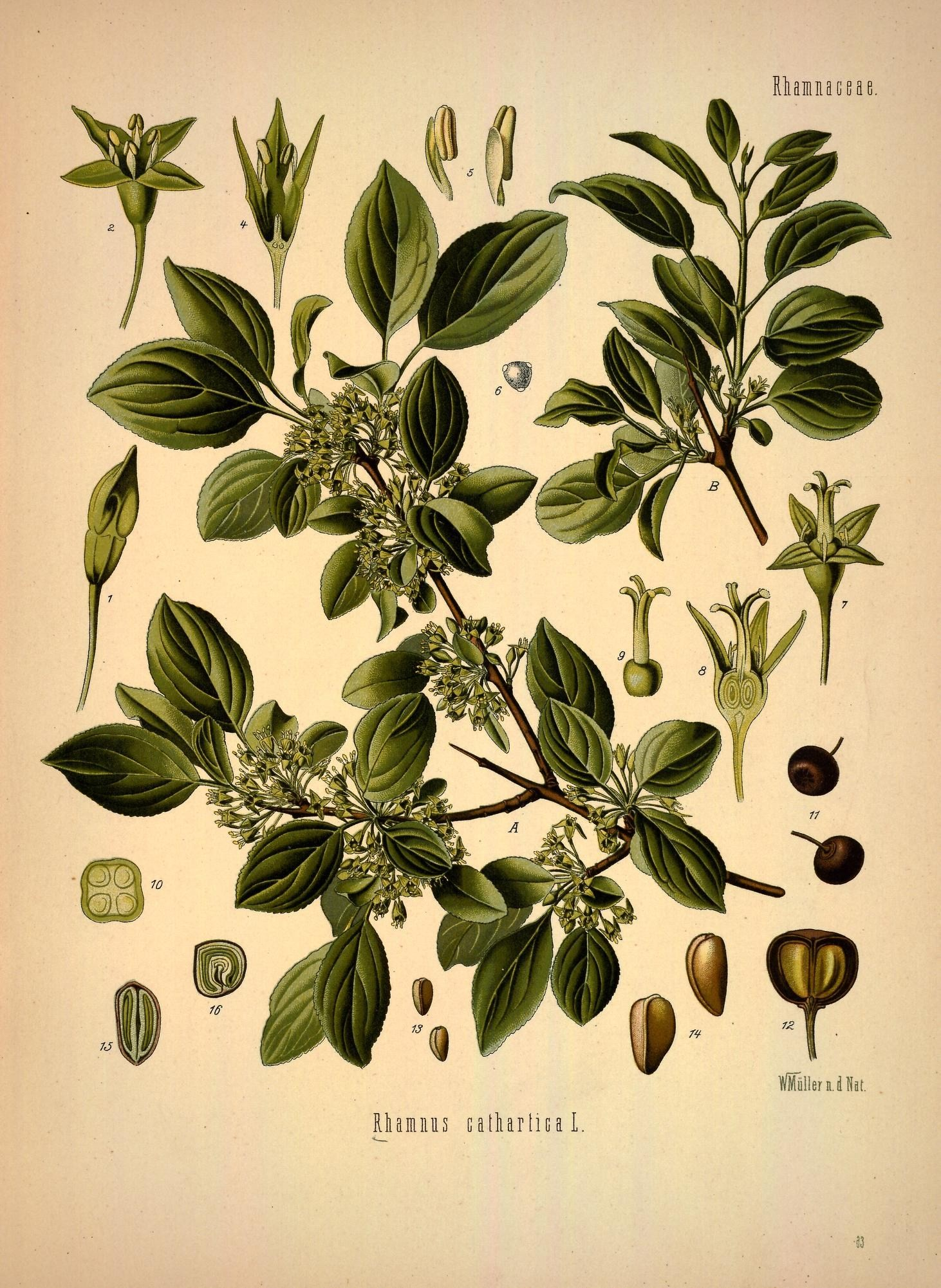 жостер слабительный ботаническая картинка красоту