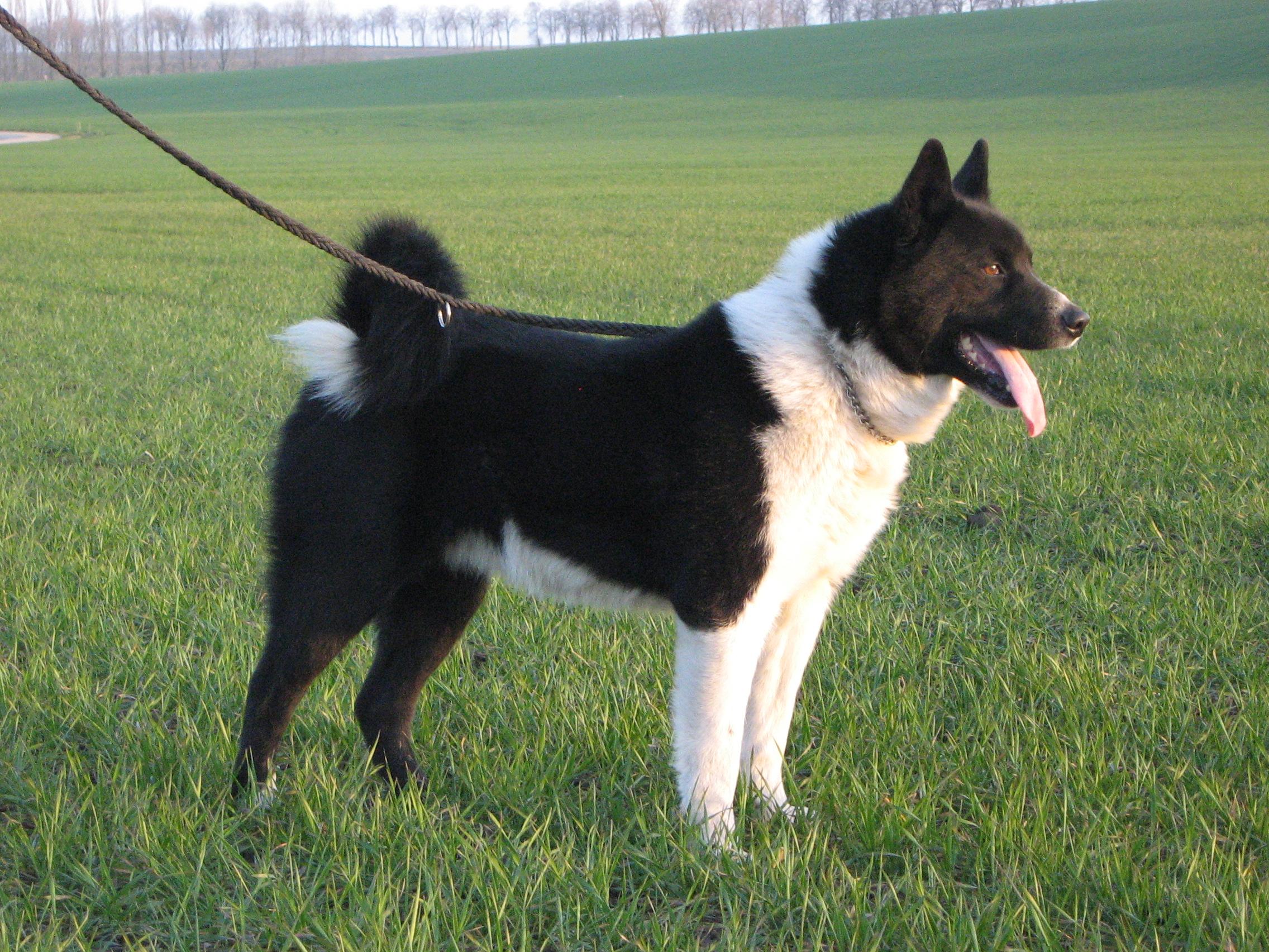 Karelski pies na niedźwiedzie sylwetka.JPG