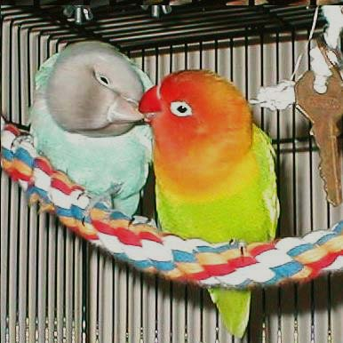 Breeding Lovebirds | That Bird Blog