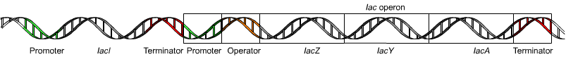Layout of the lac operon.