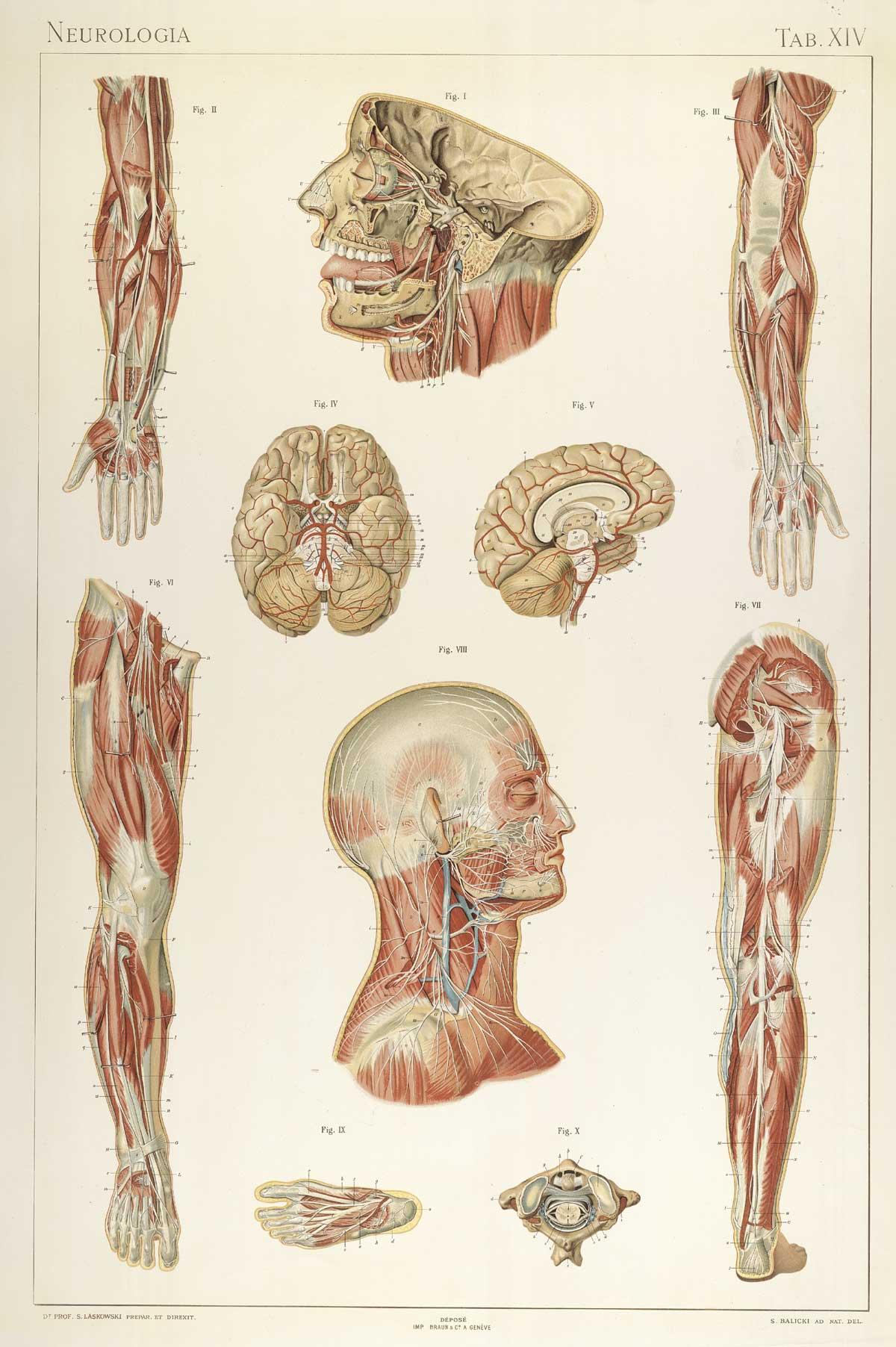File:Laskowski Anatomie normale 14.jpg - Wikimedia Commons