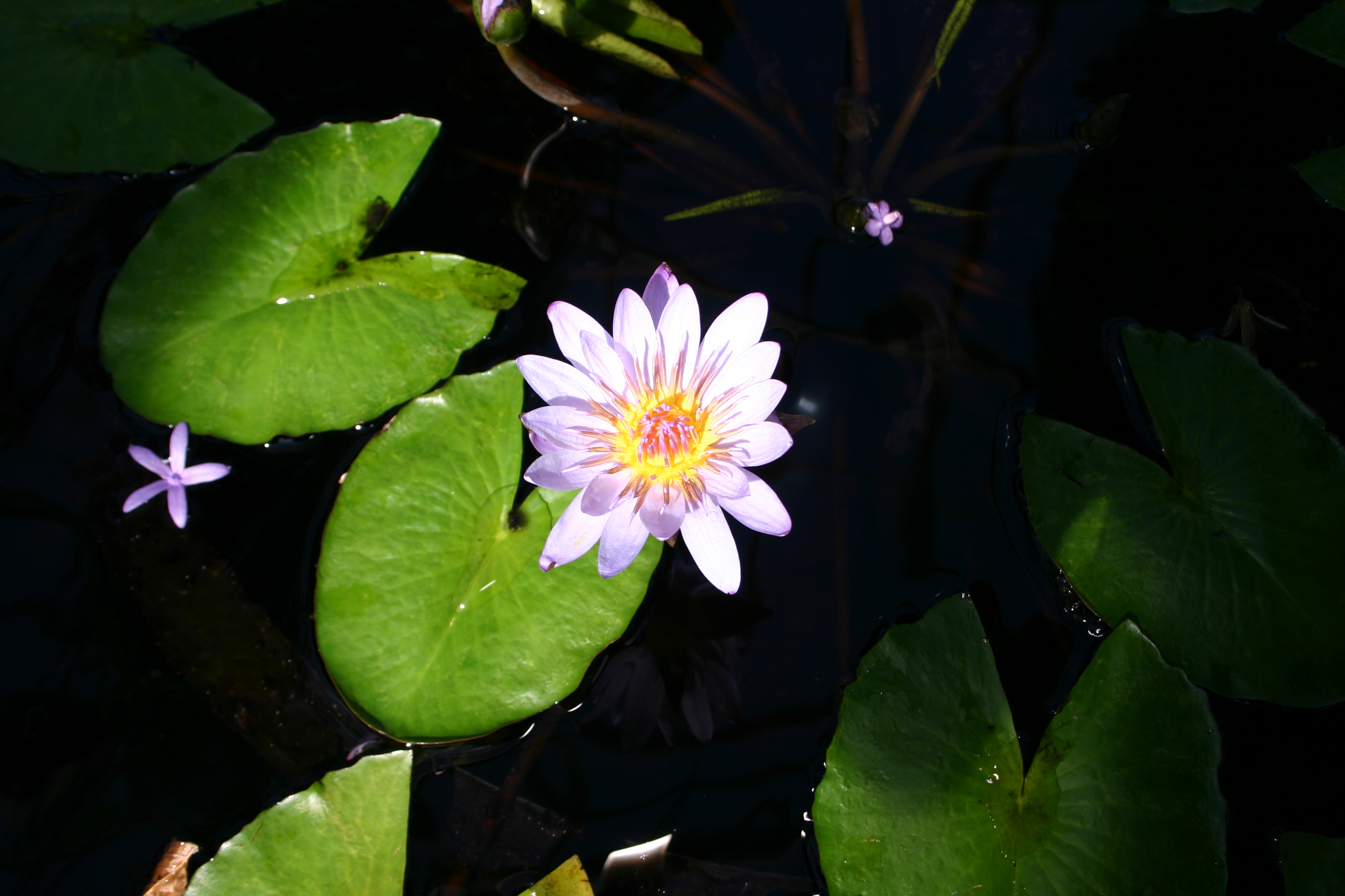 Filelily pad and flourg wikimedia commons filelily pad and flourg izmirmasajfo
