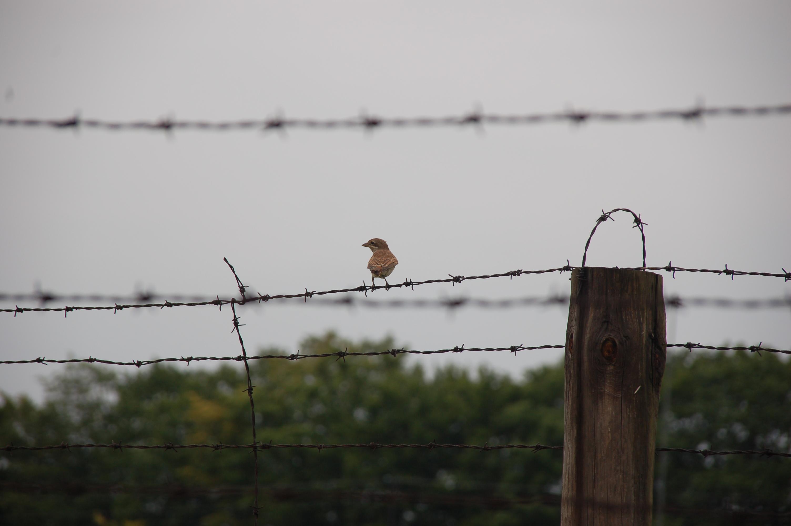 File:Lublin - Majdanek - 017 - Bird on barbed wire.jpg - Wikimedia ...