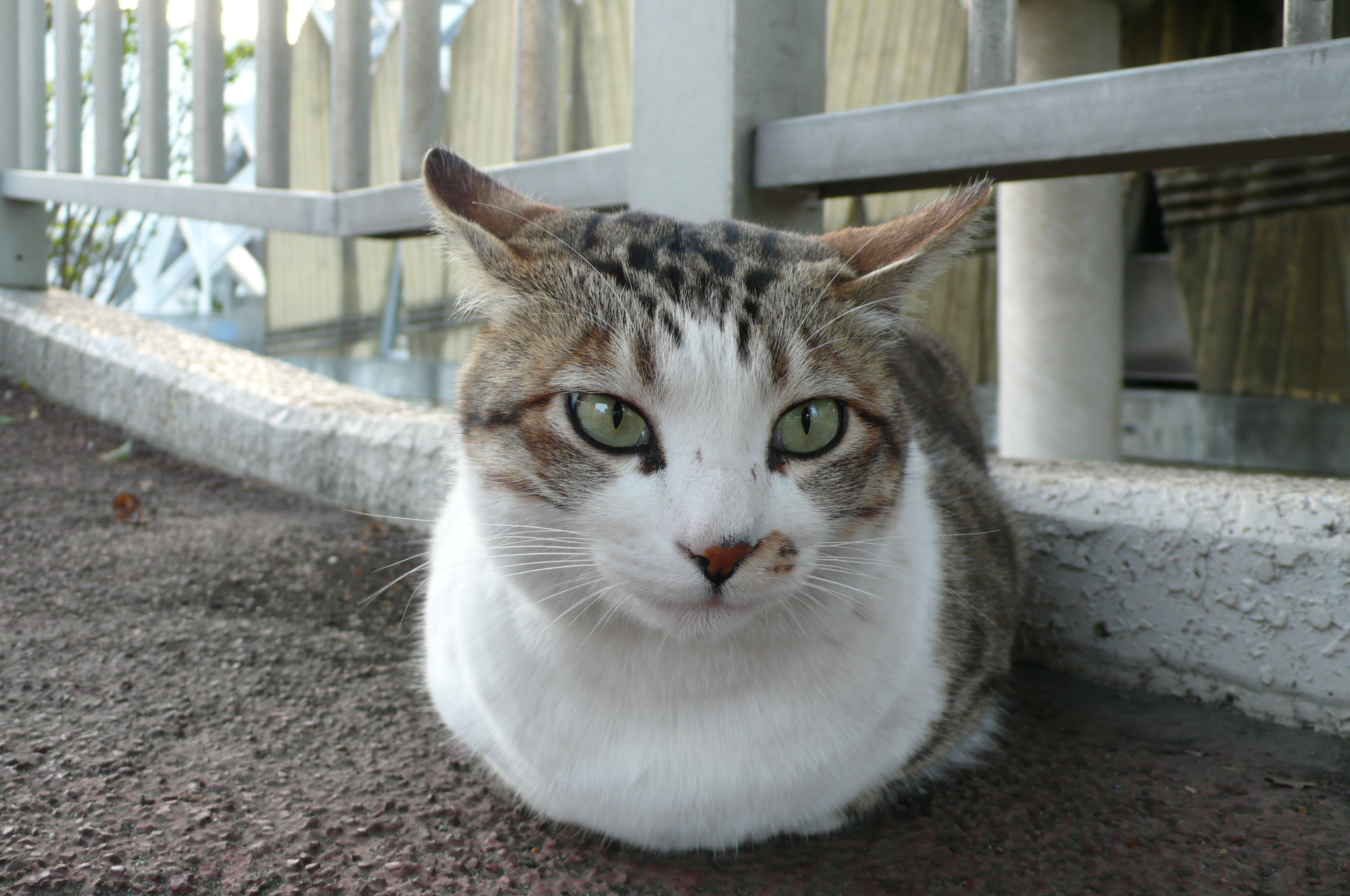 Gray Tabby Cats White Chin
