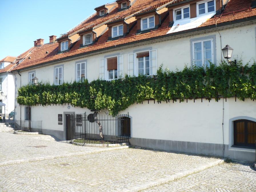 傳說中世界最老的葡萄藤
