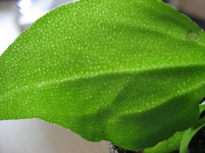 File:Mesembryanthemum crystallinum blatt.jpeg
