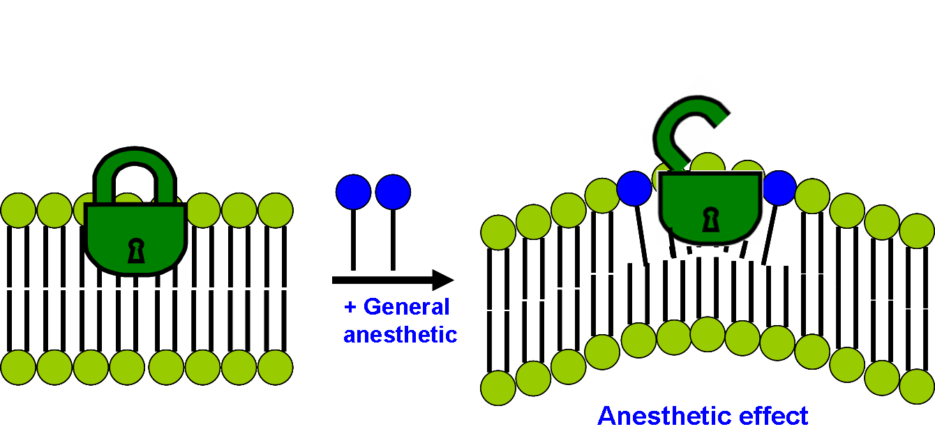 File:Modern lipid hypothesis of mechanism of general