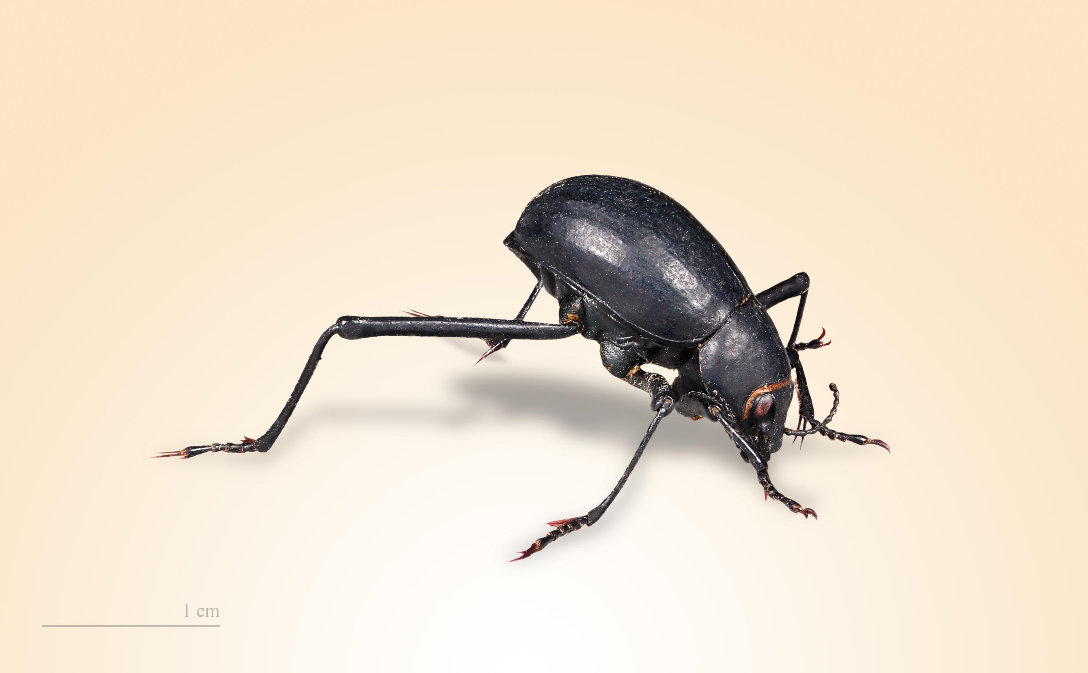 Nebeltrinker Käfer Wikipedia
