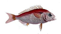 Blackspot seabream Species of fish