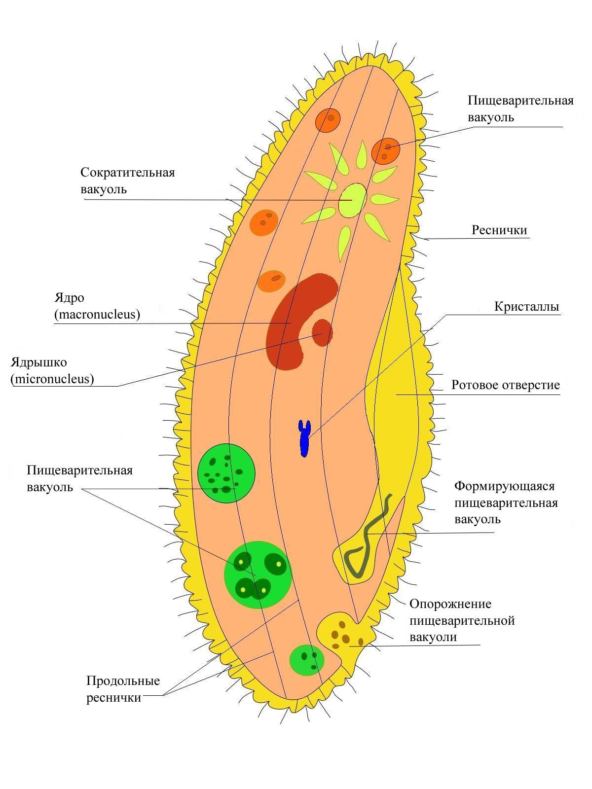 Fileparamecium rug wikimedia commons fileparamecium rug pooptronica Gallery