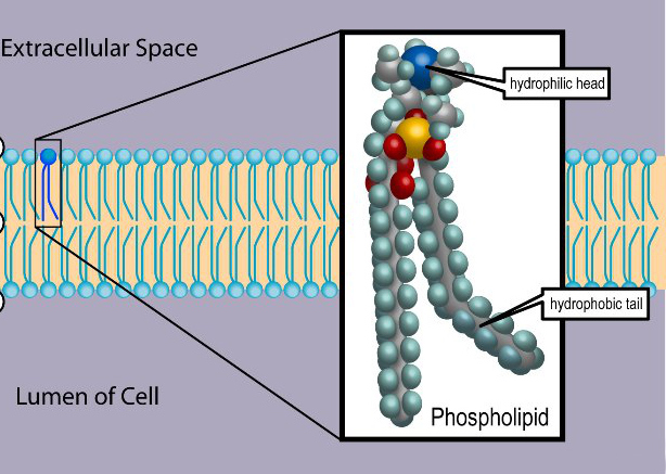 Phospholipid TvanBrussel.edit