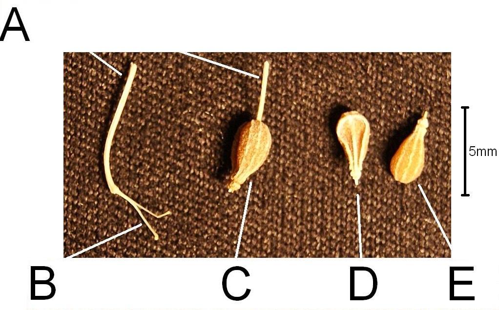 Pimpinella Anisum Seed File:pimpinella Anisum Seed by