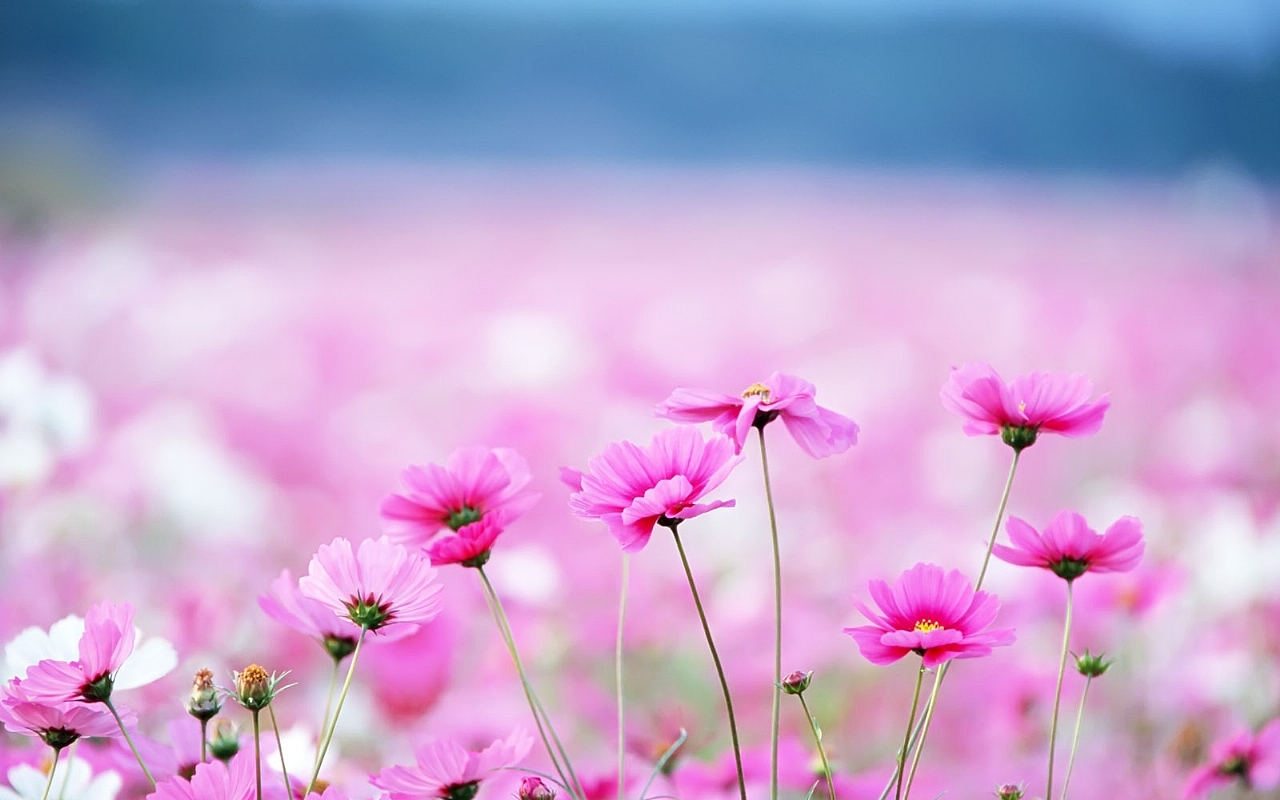 Filepink Flowers Fieldg Wikimedia Commons