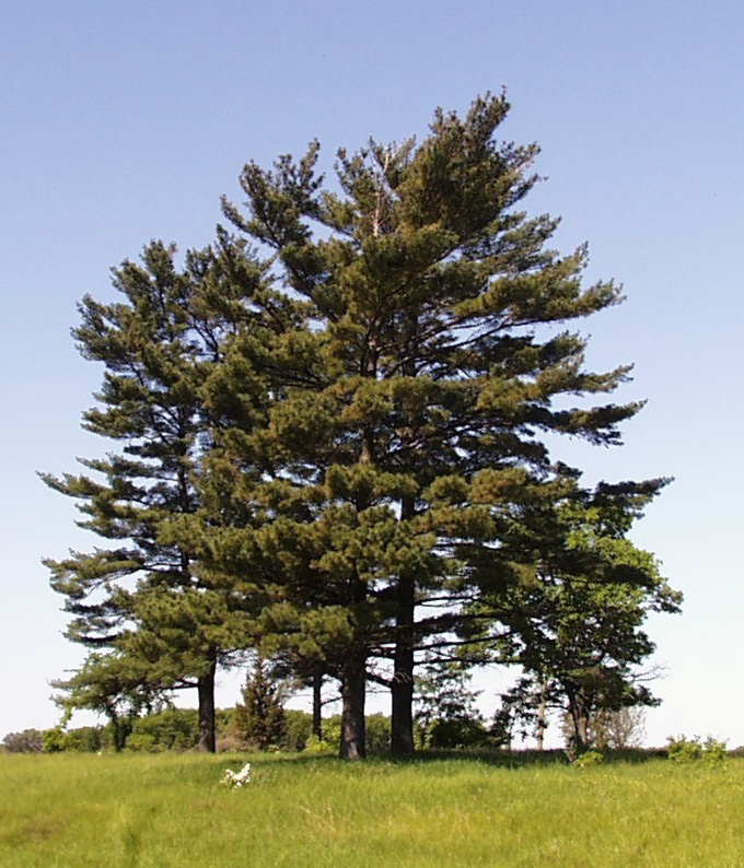 Exemplare der Weymouth-Kiefer (Pinus strobus) im Sherburne National Wildlife Refuge, Minnesota