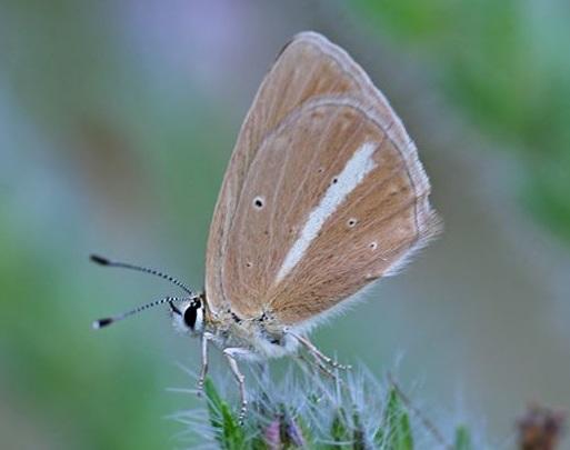 Sưu tập Bộ cánh vảy 3 - Page 42 Polyommatus_ripartii_-_Ripart%27s_Anomalous_Blue