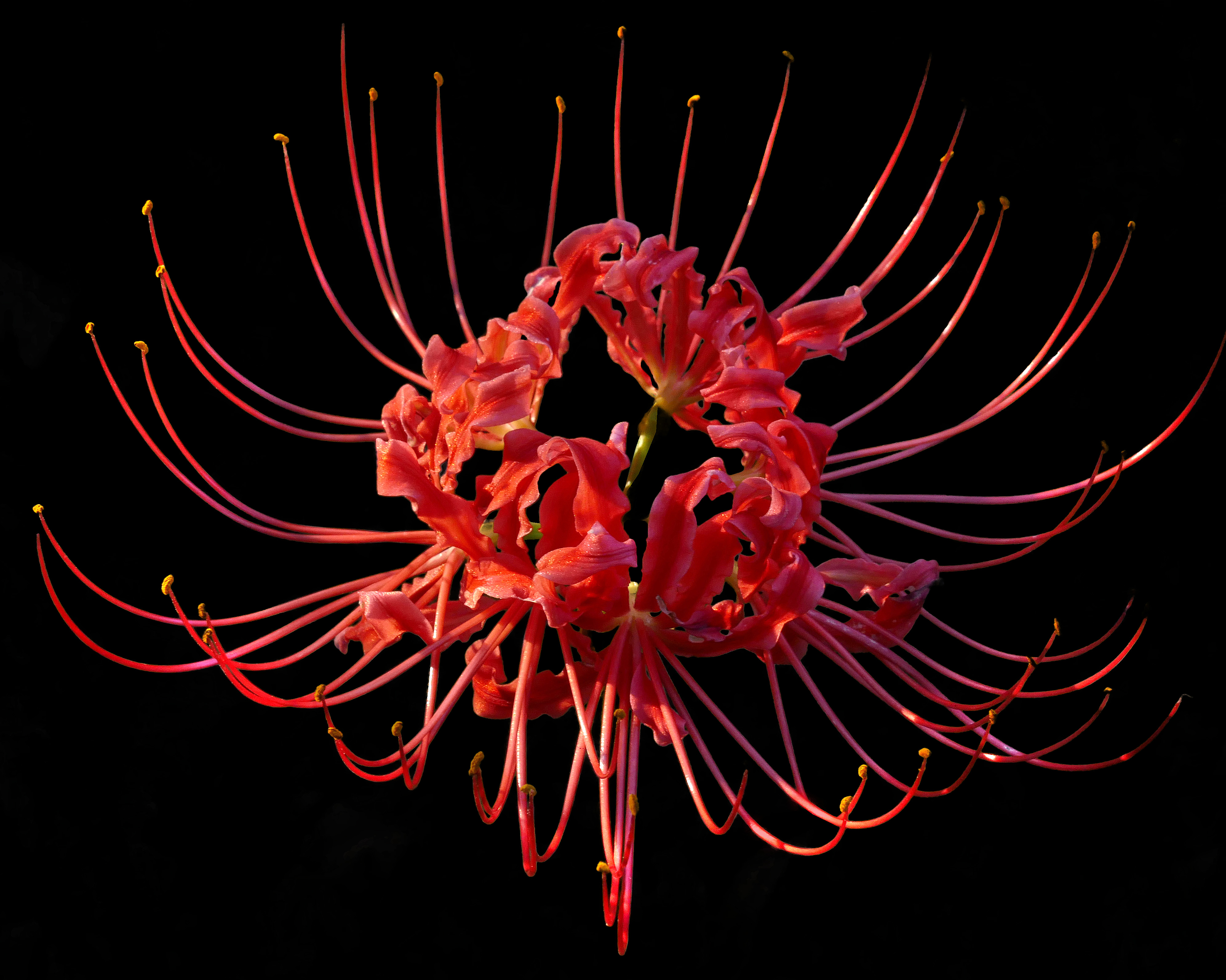 https://upload.wikimedia.org/wikipedia/commons/4/48/Red_Spider_Lily----Lycoris_radiata.jpg
