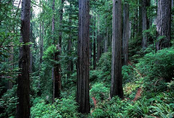 dense redwood forest in the Redwood National Park