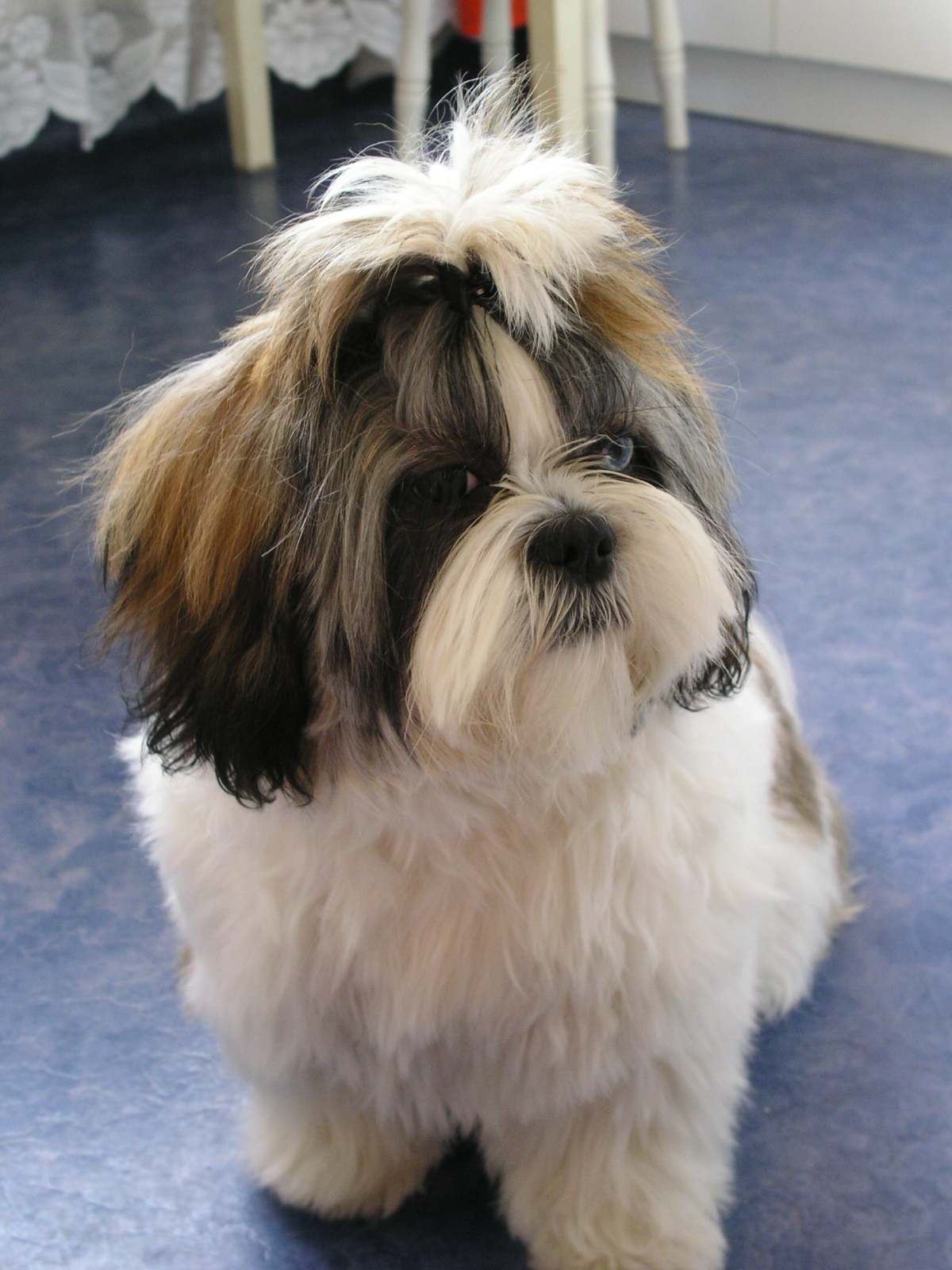 CKC Breed Standard Lhasa Apso - ABI Dog Shows