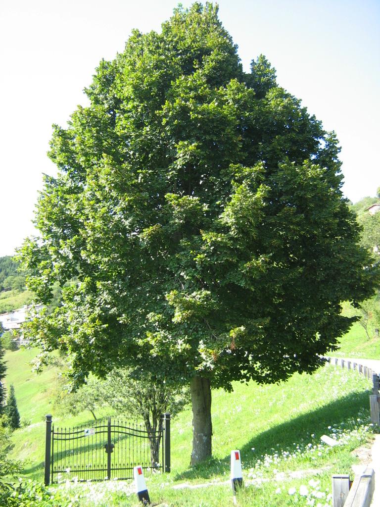File tilia platyphyllos roberto tonetti for Arboles de jardin de hoja caduca