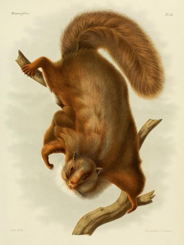 The average litter size of a Complex-toothed flying squirrel is 1