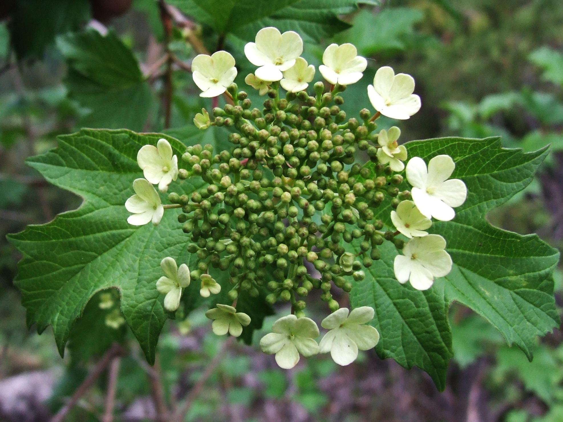 laurier fleurs