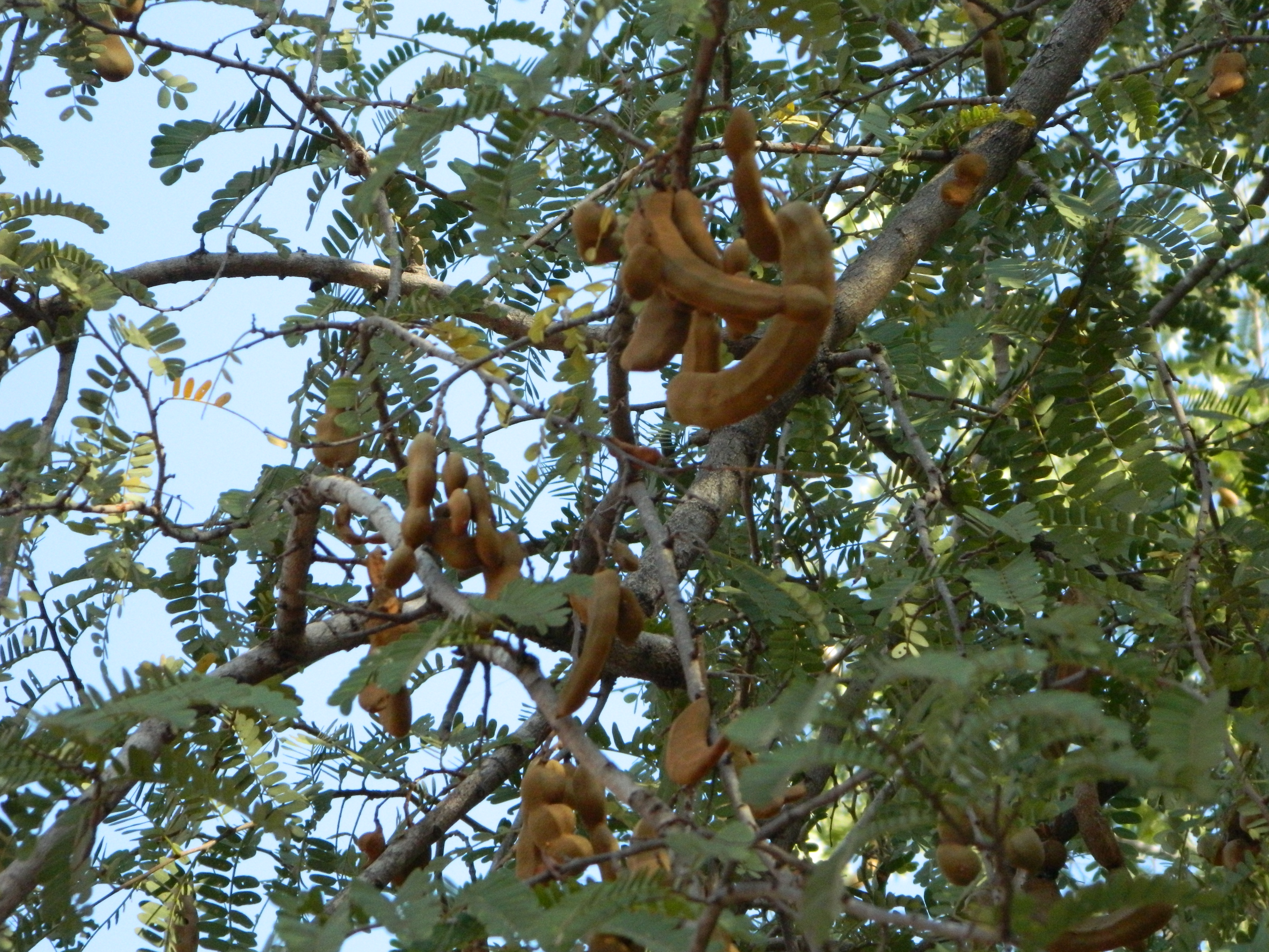 File:A aesthetic Tamarind tree.JPG - Wikimedia Commons