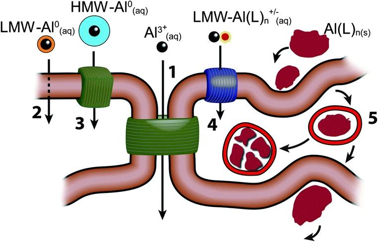 Al transport across human cells.jpg