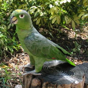https://upload.wikimedia.org/wikipedia/commons/4/49/Amazona_farinosa_at_Jungle_Island-4c.jpg