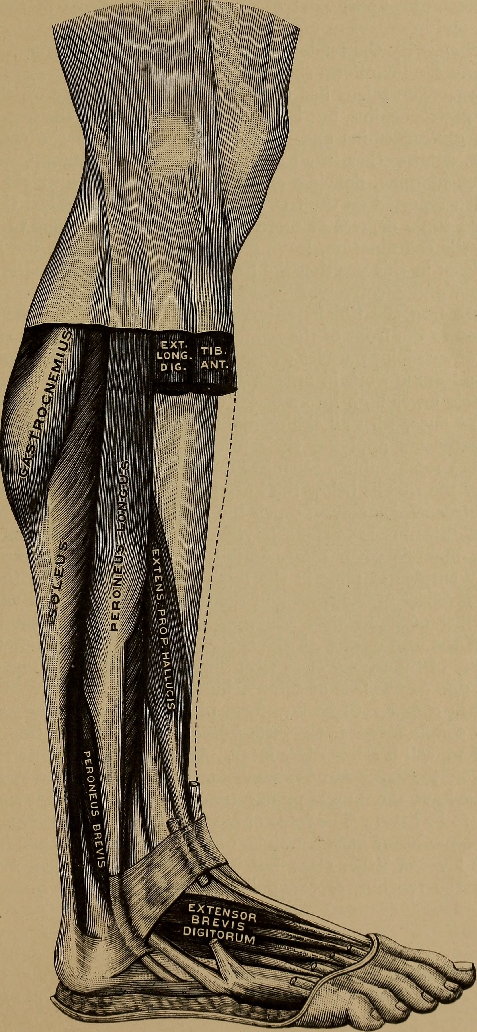 Fileapplied Anatomy And Kinesiology 1917 14767125192g