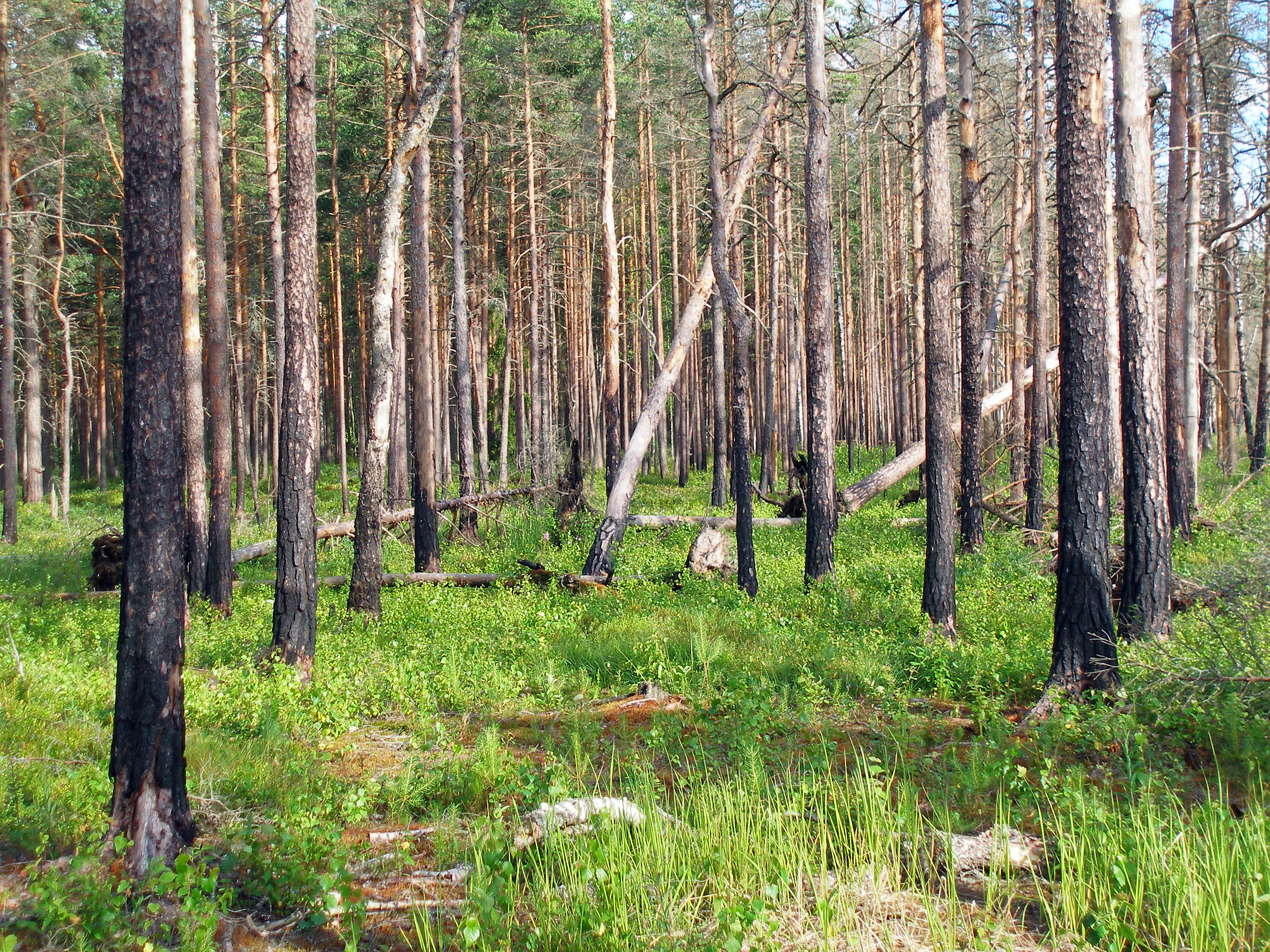 File:Boreal pine forest 4 years after fire, 2010-07.jpg ...