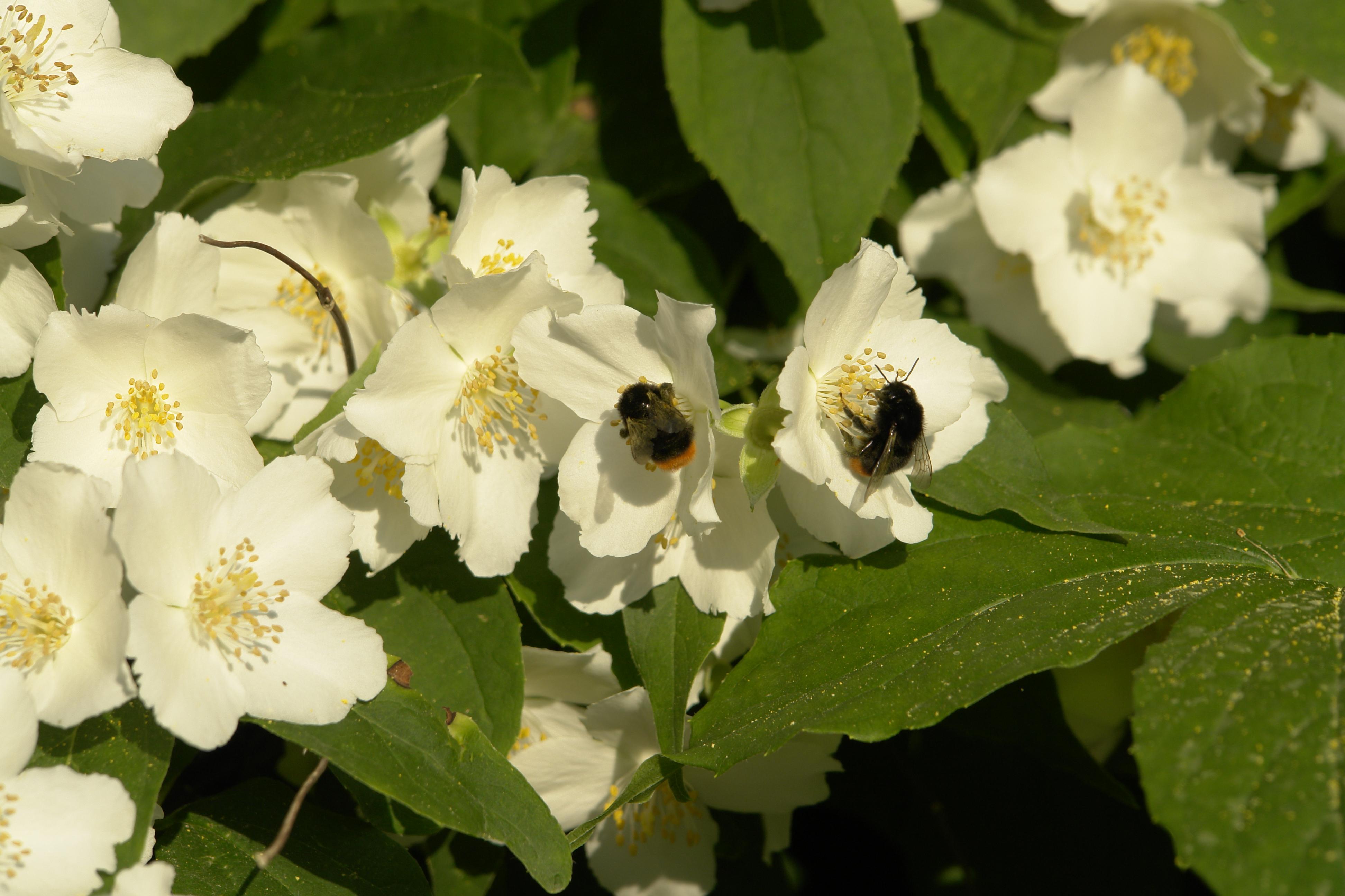 File bumblebees on philadelphus wikimedia for Philadelphus coronarius