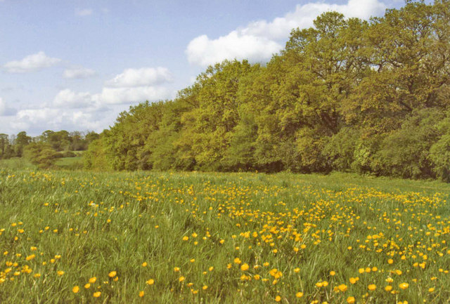 Buttercup Field, Trent Country Park, London, N14 - geograph.org.uk - 680206