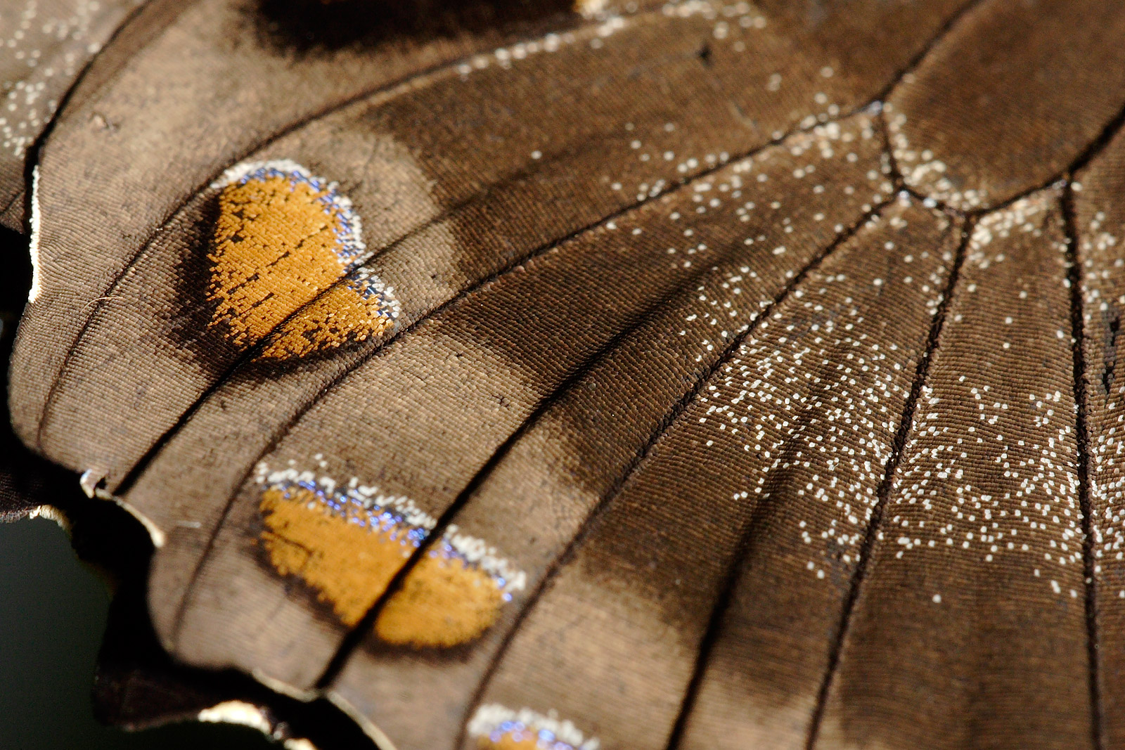 Butterfly Wings Close Up
