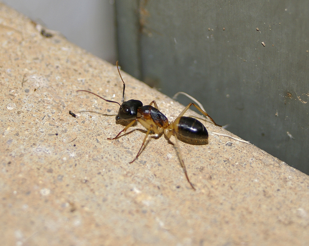 what are sugar ants related keywords & suggestions - what are