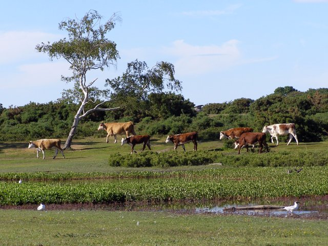 Cattle on the move at Hatchet Pond, New Forest - geograph.org.uk - 190991