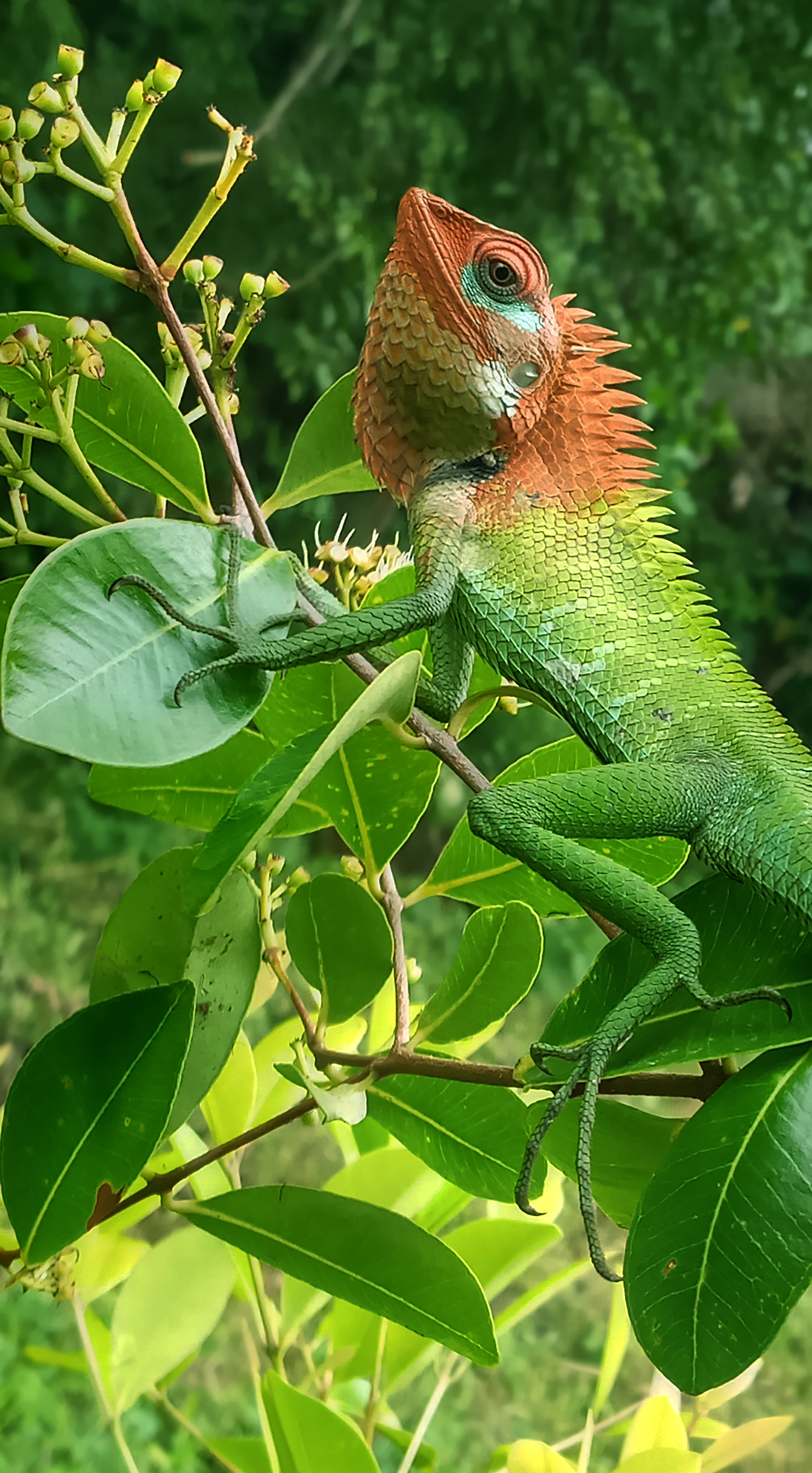 File:Chameleon changes the color.jpg - Wikimedia Commons