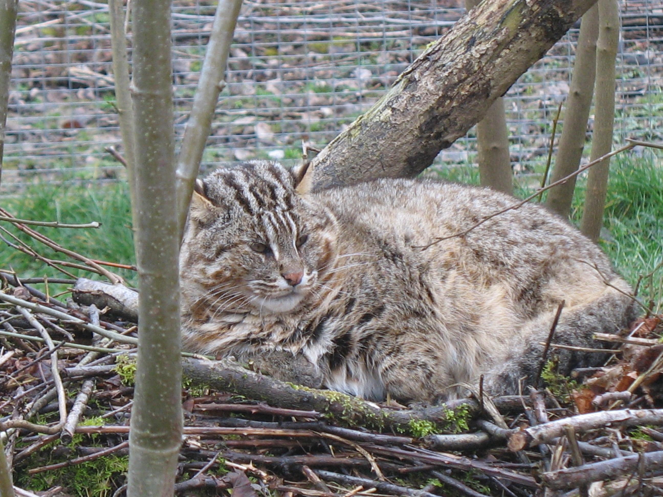 лесной кот фото и описание