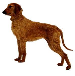Segugio italiano (ruwhaar) - Dog Scanner