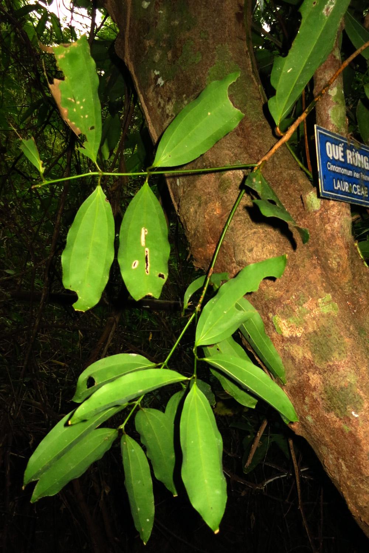 Cinnamomum Iners Wikipedia