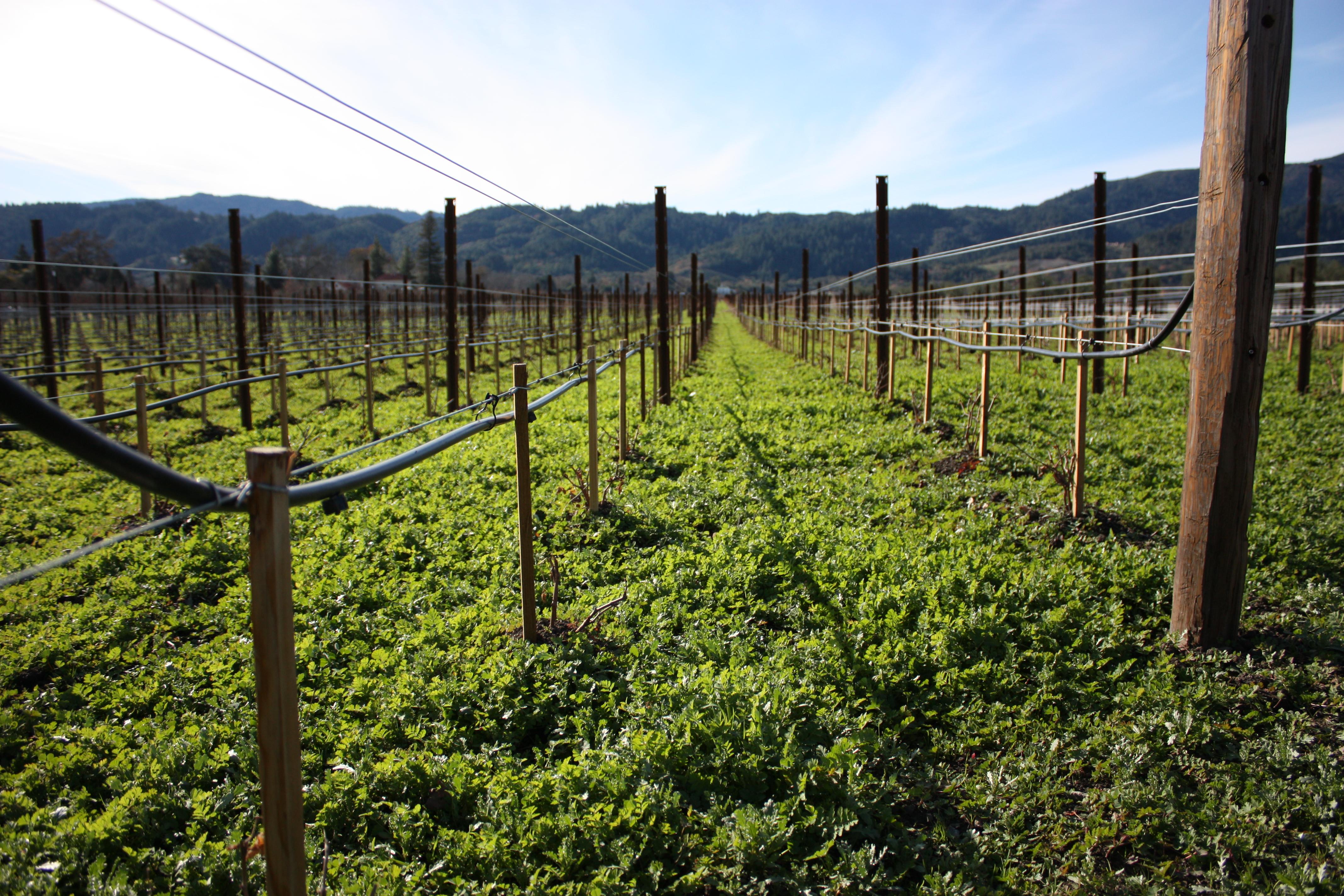File:Close up of vineyard irrigation, wire trellising ...