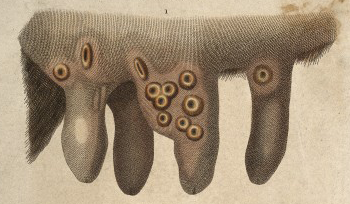 Cowpox (vaccina) pustules on a cow's udder Cowpox Engraving (detail).png
