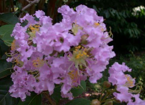 File:Crepe Myrtle, Crape Myrtle 'Apalachee' (Lagerstroemia indica).jpg