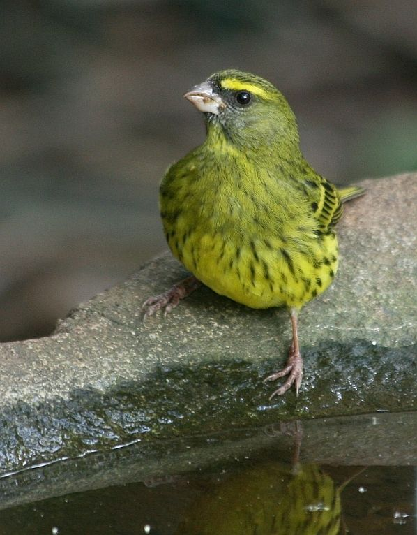 File:Forest Canary (Serinus scotops) facing left, front ...
