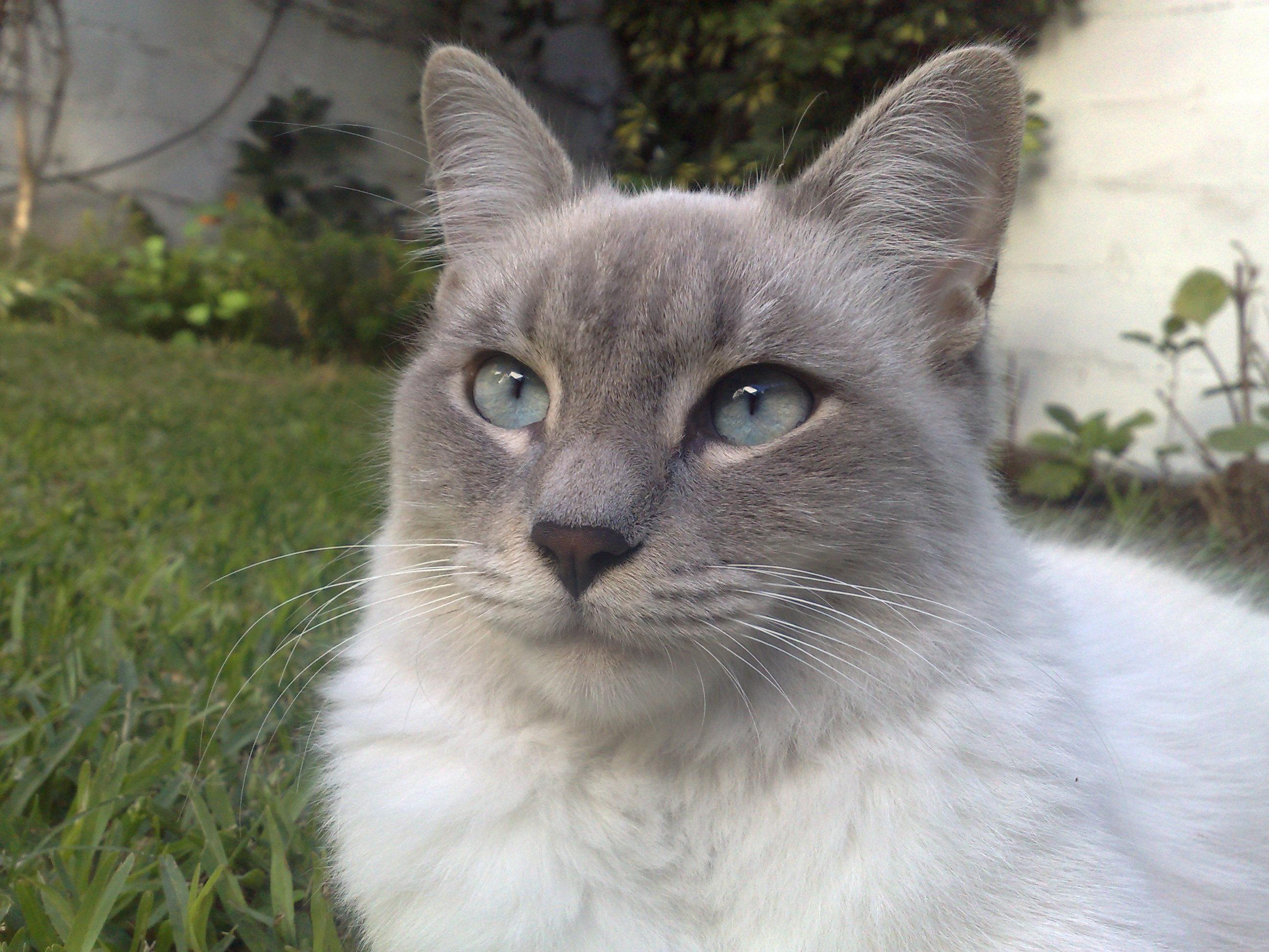 File:Gato Blanco Y Gris, Felis Silvestris Catus.jpg