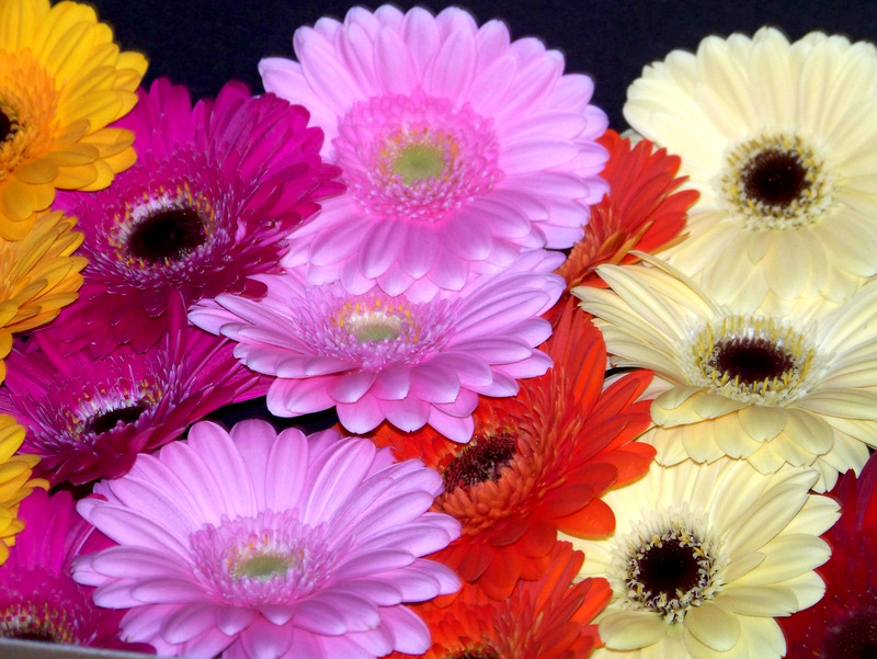 how to make gerbera daisies bloom more proflowers blog. Black Bedroom Furniture Sets. Home Design Ideas