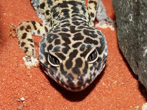 Leopardgecko (Art) – Wikipedia  Leopardgecko (A...