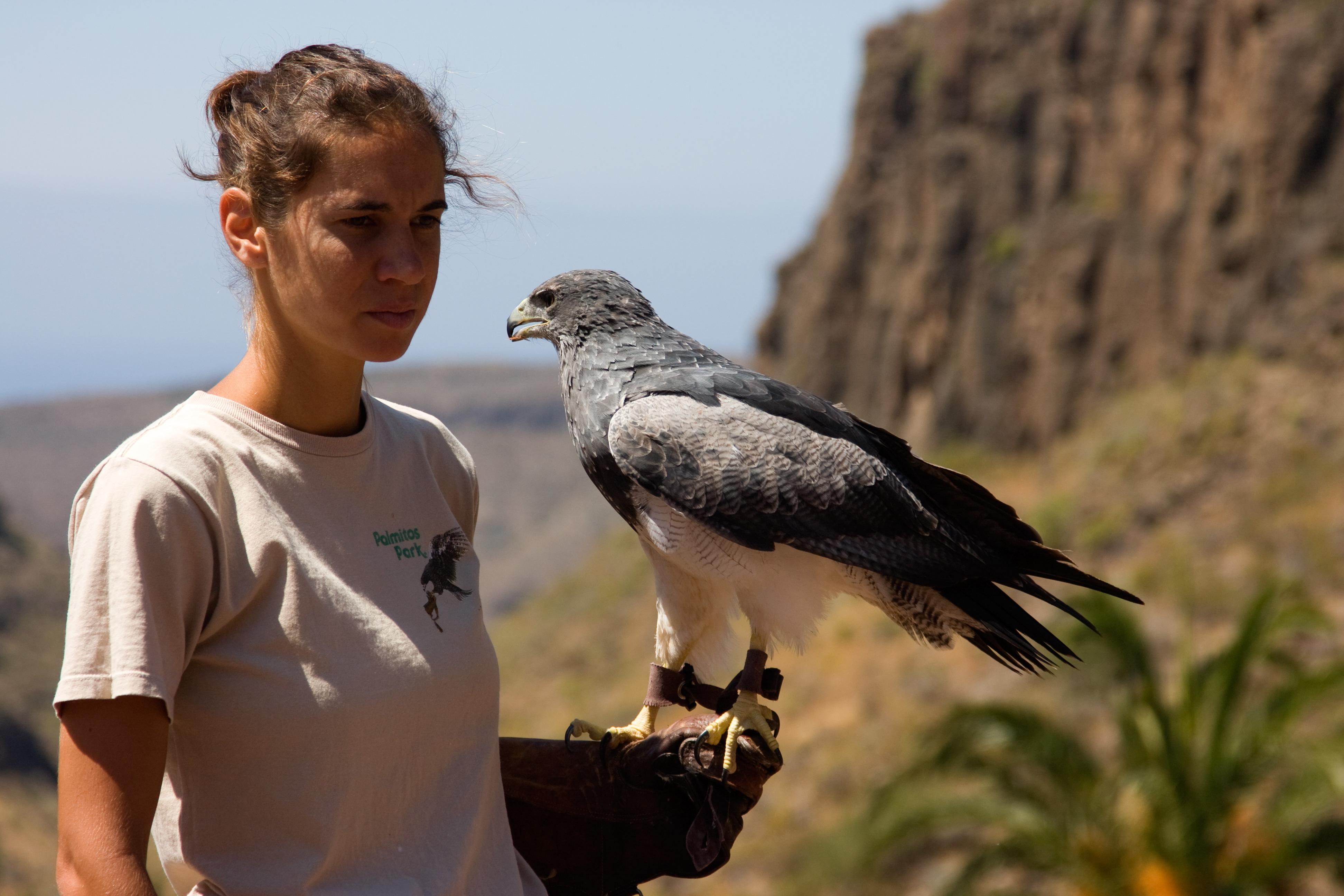 File:Geranoaetus melanoleucus -Palmitos Park, Gran Canaria
